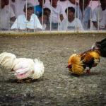Tips Judi Sabung Ayam S1288