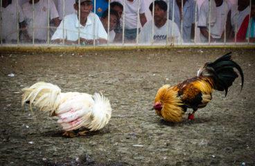 Tips Judi Sabung Ayam S1288 Online Yang Pasti Berhasil